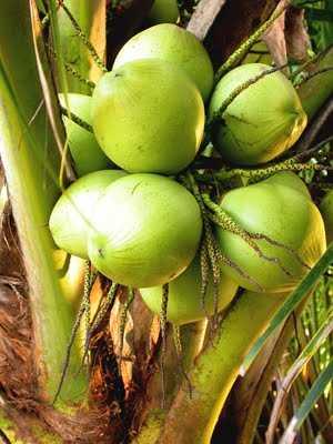 kelapa muda.jpeg