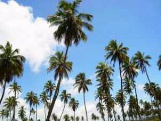 pohon kelapa.jpeg